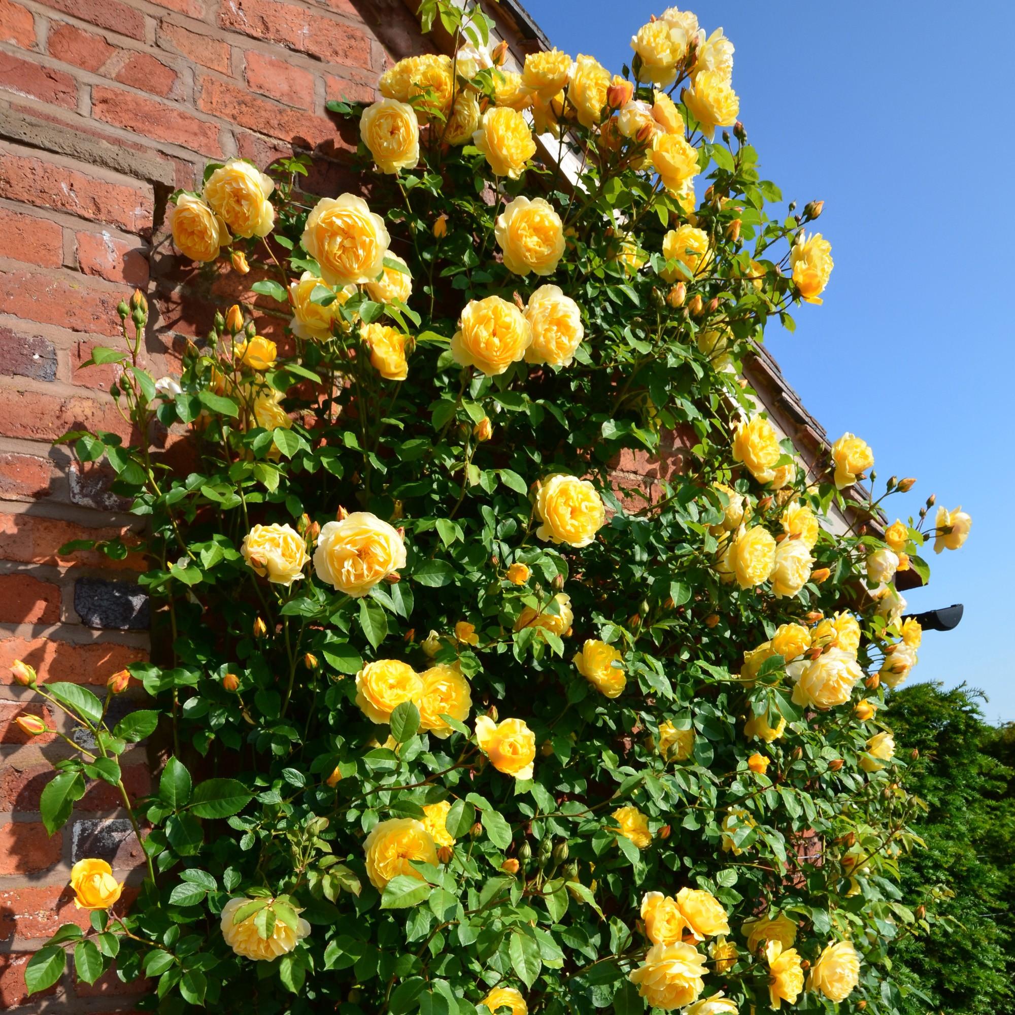 беззастенчиво пользуется вьющаяся роза желтого цвета фото домов воде